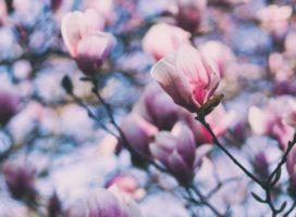 Il ruolo della magnolia nelle terapie bio-naturali nei tumori umani
